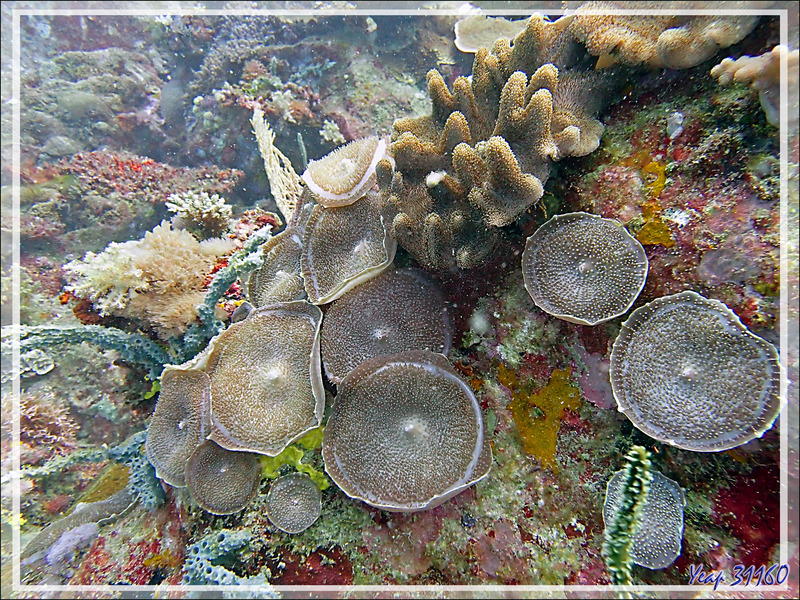 Anémone oreille-d'éléphant, Giant mushroom anemone, Elephant's ear anemone (Amplexidiscus fenestrafer) et Corail main du diable (Lobophytum pauciflorum) - Beangovo - Tsarabanjina - Mitsio - Madagascar