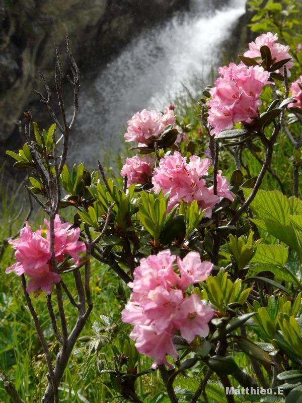 """""""Fleurs de montagne"""""""