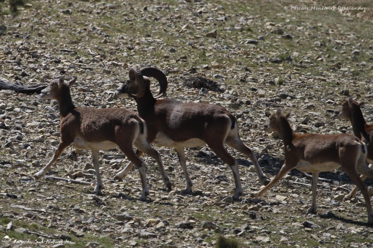 Mouflons