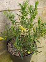 eremophylla maculata aurea