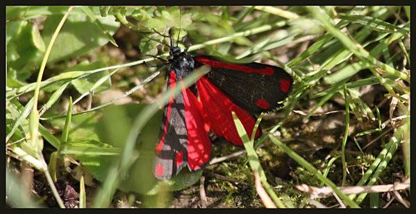 papillon rouge et noir6