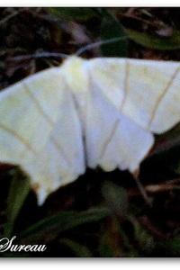 Phalène du Sureau ou Ourapteryx Sambucaria
