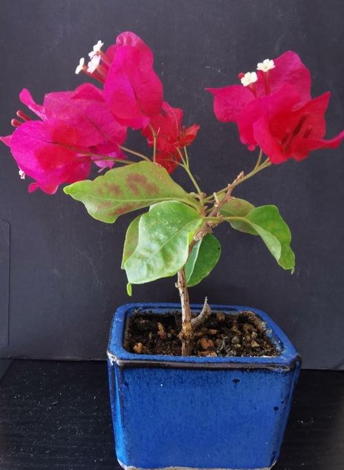 bonsaïs de fin août
