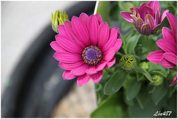 Fleurs-2-5328-Osteospermum.jpg