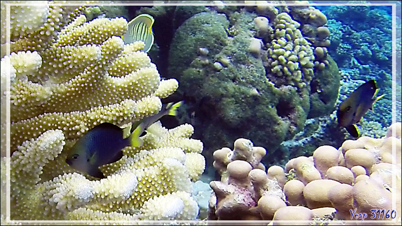 Demoiselle à queue jaune, Yellowtail dascyllus (Dascyllus flavicaudus) - Tumakohua (passe sud) - Atoll de Fakarava - Tuamotu - Polynésie française