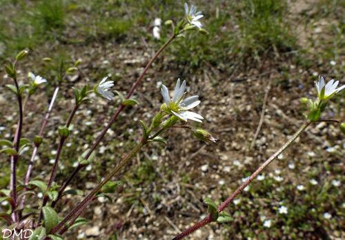 Cerastium pumilum      céraiste nain