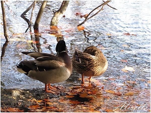 Deux-canards-1.jpg