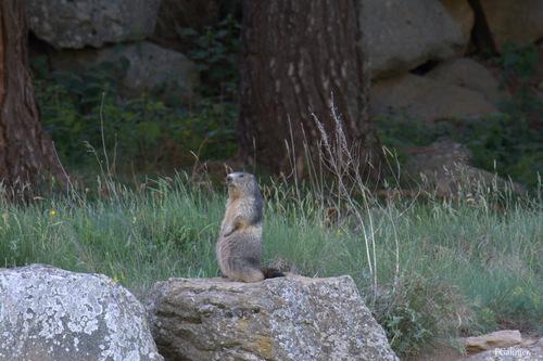 Marmottes (Formigueres)