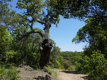 Un beau chêne-liège sur le chemin du retour