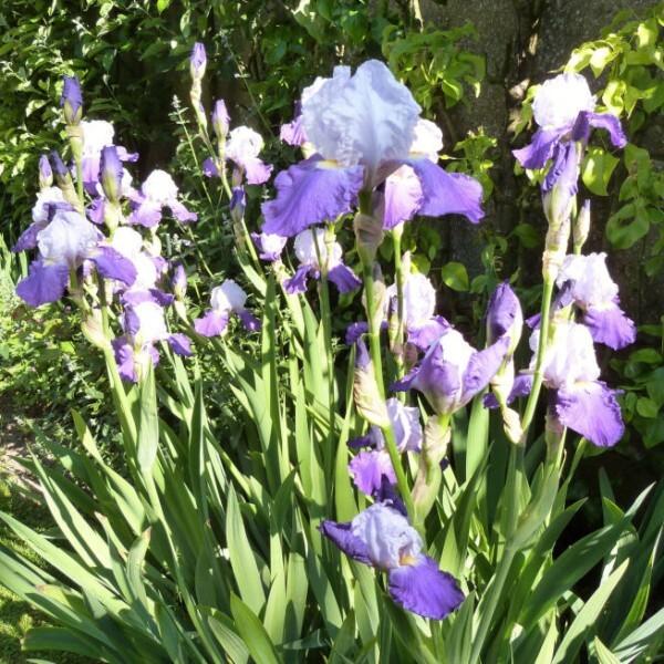 iris-de-jardin-Arpege---juin-2013.jpg