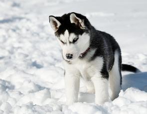 le chien loup : le husky