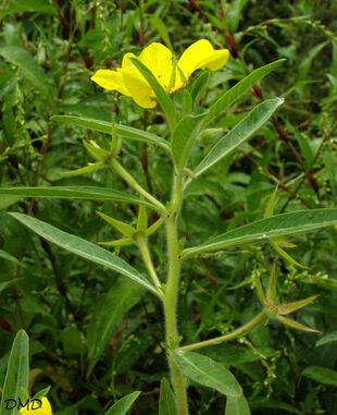 Ludwigia grandiflora - jussie à grandes fleurs