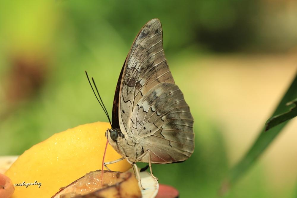 Papillonade....(1)