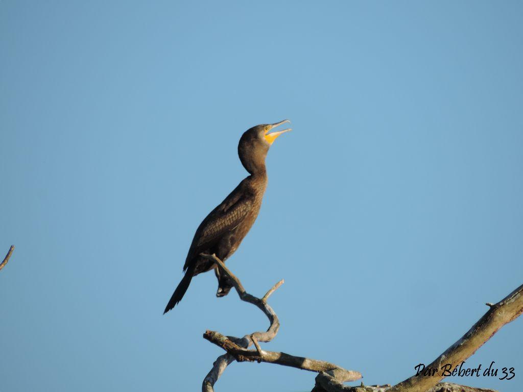 des cormorans au lac