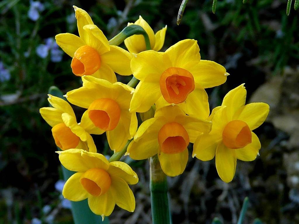 Tazetta-8-fleurs-1-tige.jpg