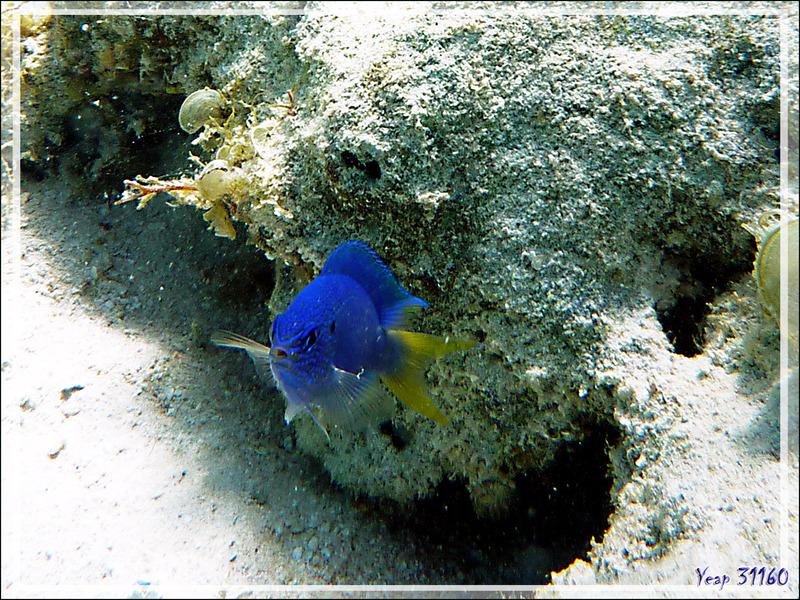 Demoiselle bleue à queue jaune, Goldtail demoiselle (Chrysiptera parasema ??) - Moorea - Polynésie française