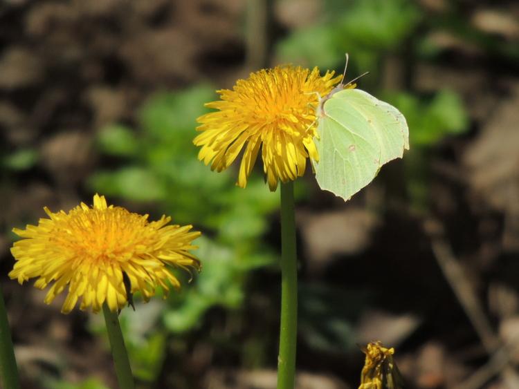 Papillon de mai.Images gratuites.Volet 2.