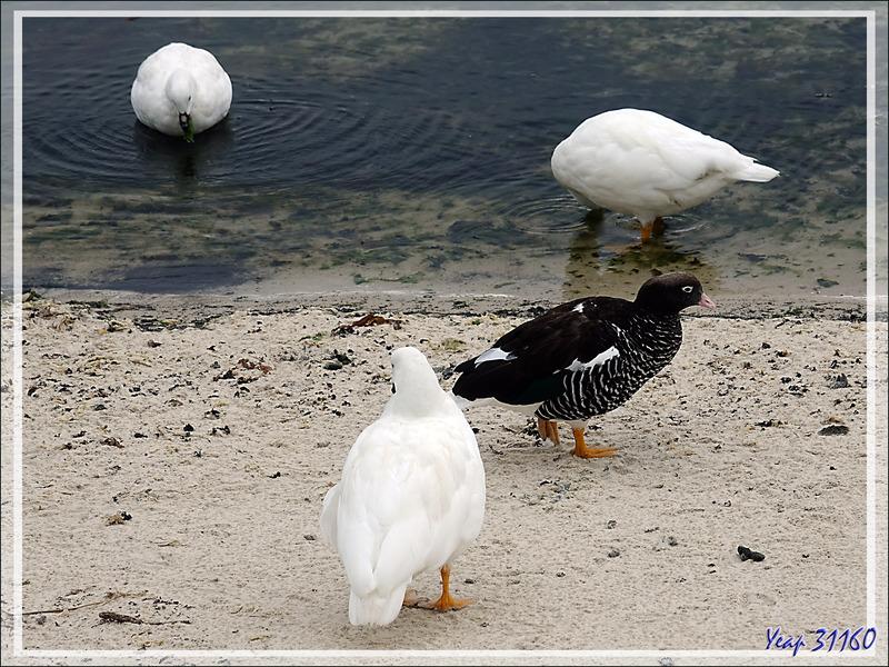 Et sur la plage de South Harbour, une troupe d'Ouettes marines, Kelp Goose (Chloephaga hybrida malvinarum) - New Island - Falkland (Malvinas, Malouines) - Grande-Bretagne