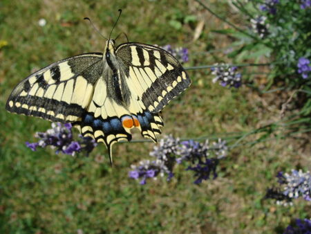 le_machaon