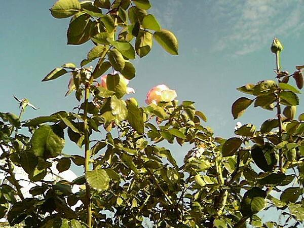 Fleur6