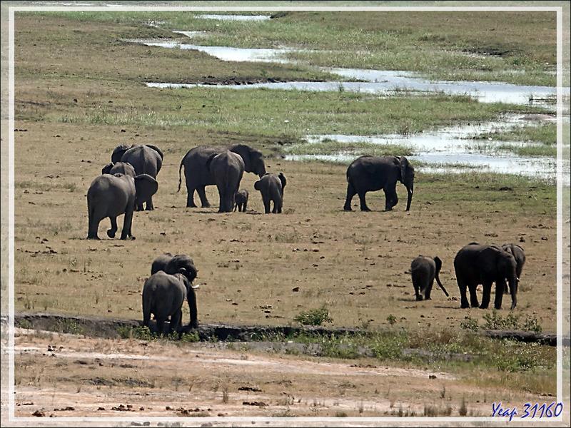 Dans l'immensité de la savane, un troupeau d'éléphants ... - Safari terrestre - Parc National de Chobe - Botswana