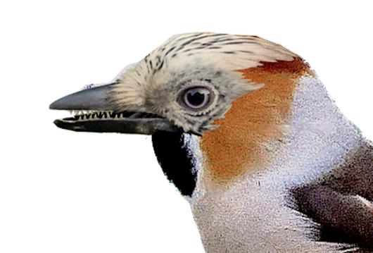 Découverte: une nouvelle espèce, le coco-geai d'Europe (thrautes glandarius)
