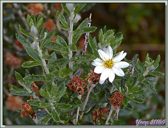 Arbuste inconnu à fleurs blanches - Terre de Feu - Argentine
