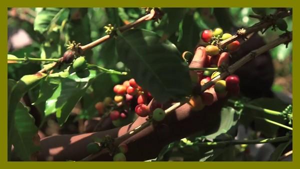 café du kivu