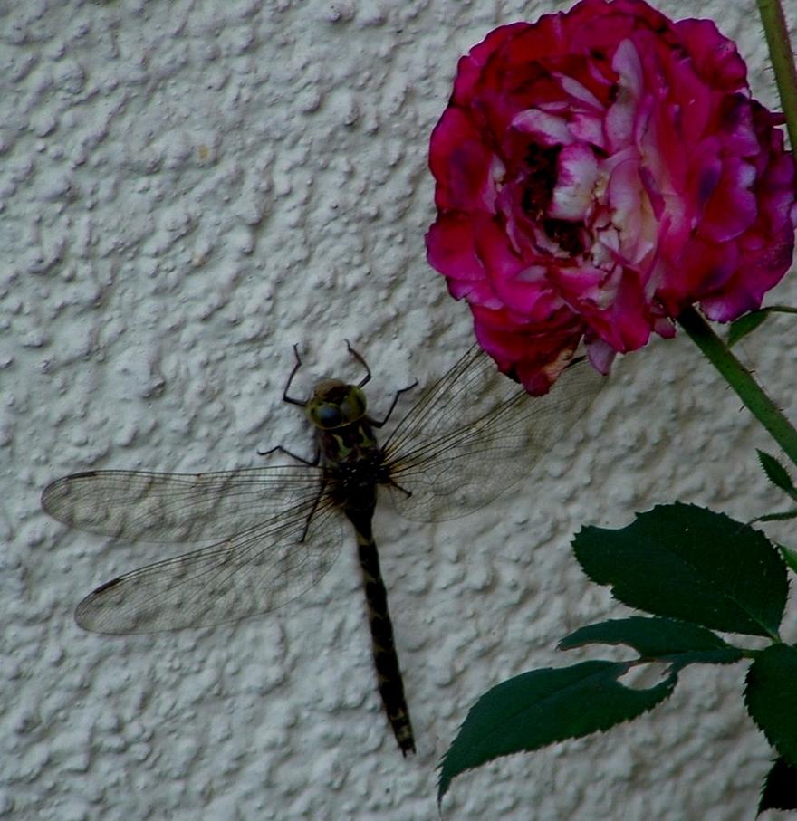 Le monde des insectes «La jolie petite libellule»