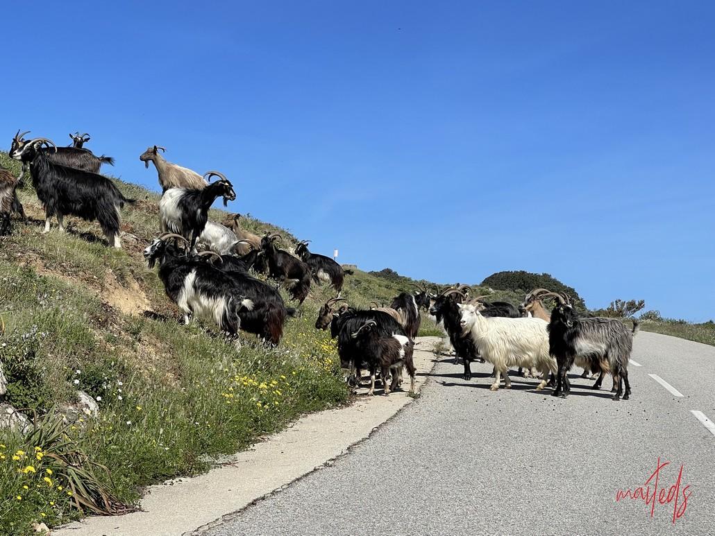 Rencontre sur la route de la plage d'Arone - Piana
