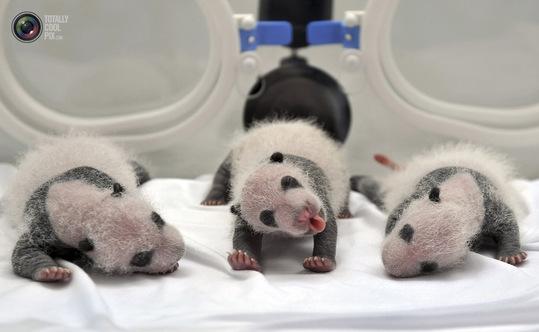nouveau-nés de panda