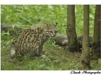 dans l'ordre : guépard d'Afrique du sud - Chat des Sables - Lion de l'Angola - Lynx de Sybérie - Oncille -  léopard de Perse