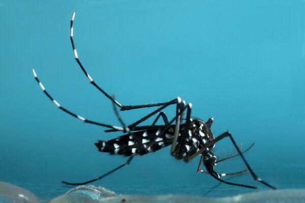 Parce que le moustique-tigre est implanté dans une trentaine de départements, le Zika pourrait aussi se propager en France métropolitaine. © InsectWorld, Shutterstock