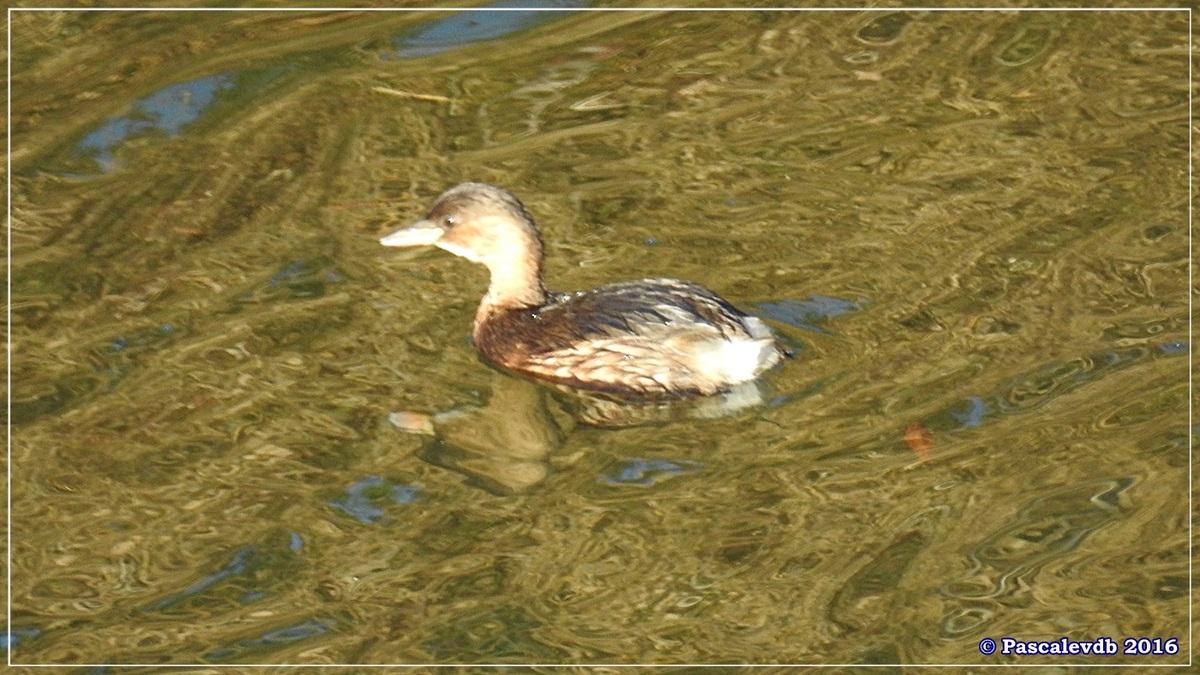Réserve ornitho du Teich - Décembre 2016 - 1/13