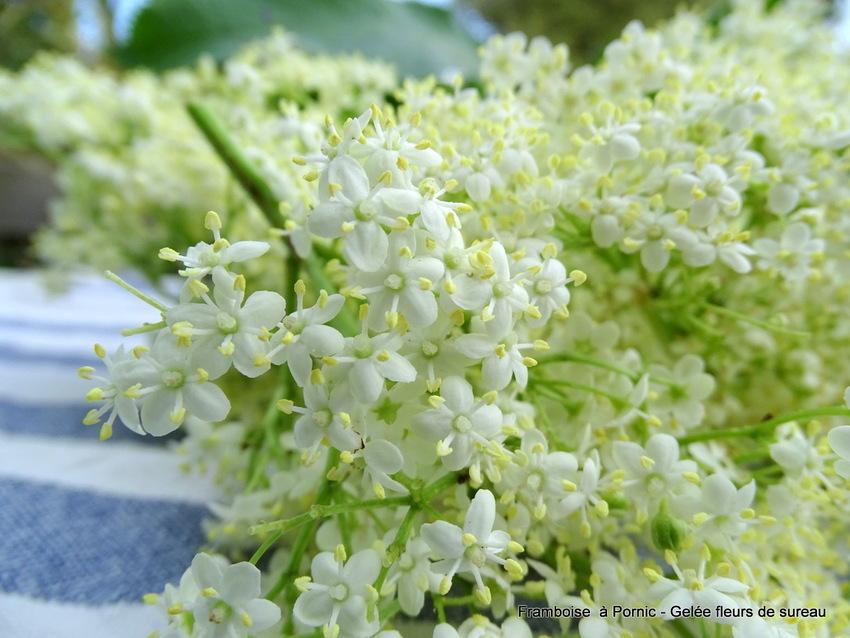 Gelée Fleurs de sureau