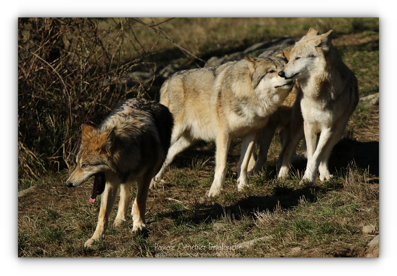 Les Loups de Sibérie et leur comportement social