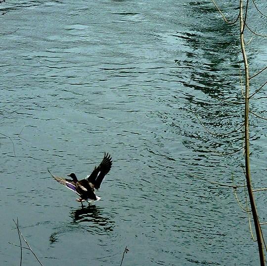 Le canard de Moselle 2 Marc de Metz 08 04 2013