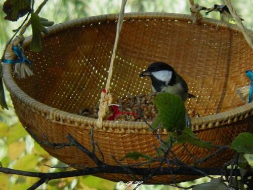 Les pérégrinations de mes oiseaux du jardin