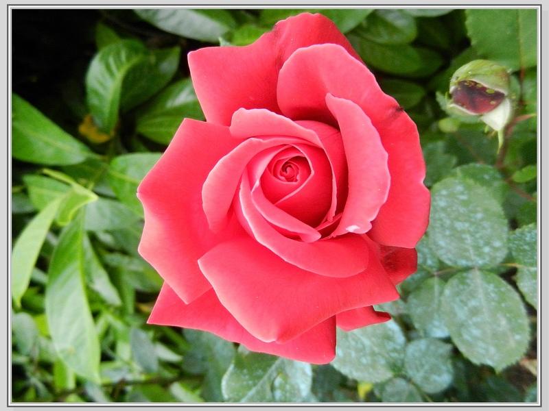 Les roses suite