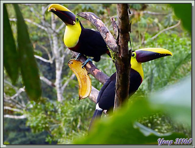 Blog de images-du-pays-des-ours : Images du Pays des Ours (et d'ailleurs ...), Toucan à carène, Keel-billed Toucan (Ramphastos sulfuratus) - Arenal - Costa Rica