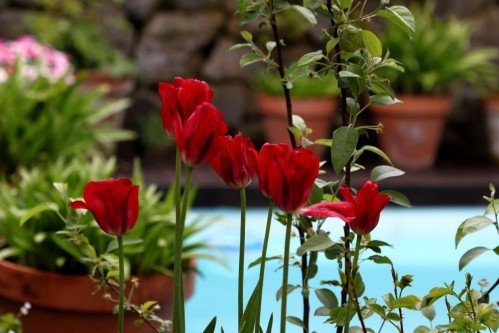 Tulipes Red Spring Green11