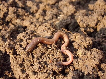Les vers de terre : Aide précieuse du jardinier