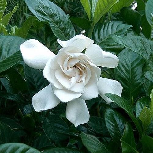 445px-Gardenia jasminoides cv1
