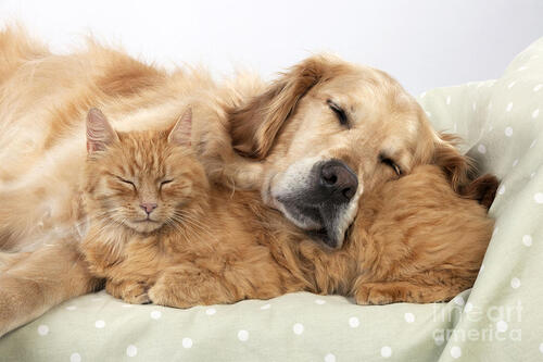 Nos Goldens et les chats 2!!