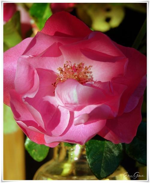 Dernières roses