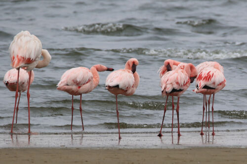 Flamant nain (Lesser Flamingo)