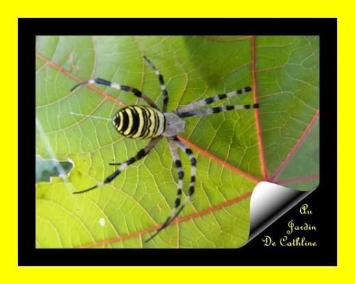 araignée à identifier recto 7 Août 2014 (51)