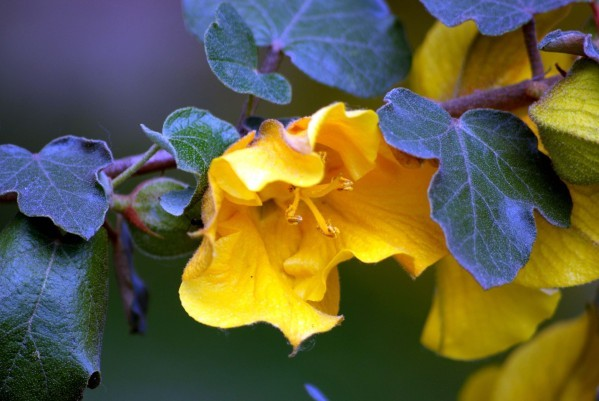 Fremontodendron Jacquie 3290