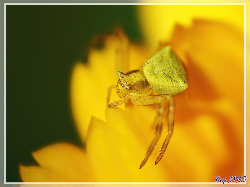 Bébé araignée crabe Thomise enflée jaune (Thomisus onustus) - Lartigau - Milhas - 31