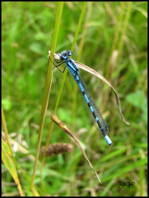Agrion porte-coupe.